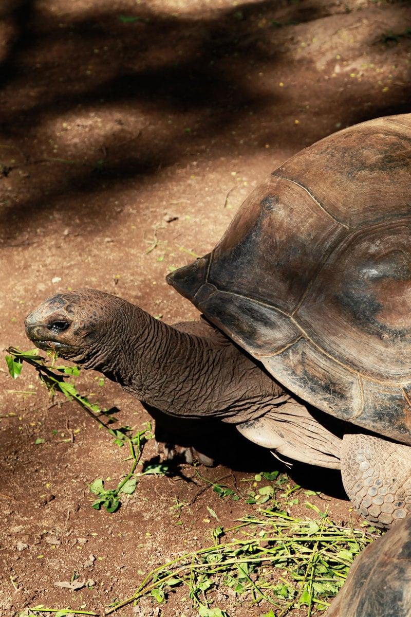 reuzeschildpadden mauritius