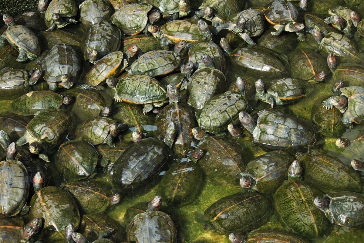 Schildpadden in een put bij de Kek Lok Si tempel in Penang