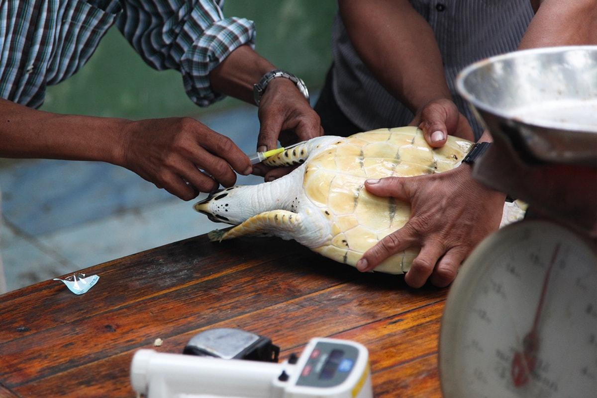 Schildpadden vrijlaten op Koh Talu