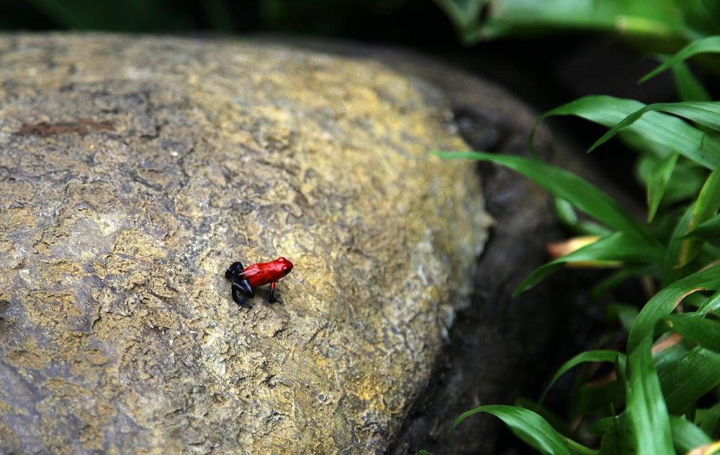 Giftige kikker in Costa Rica
