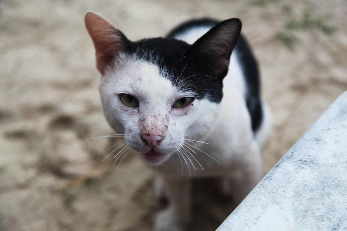 De katten van Koh Talu