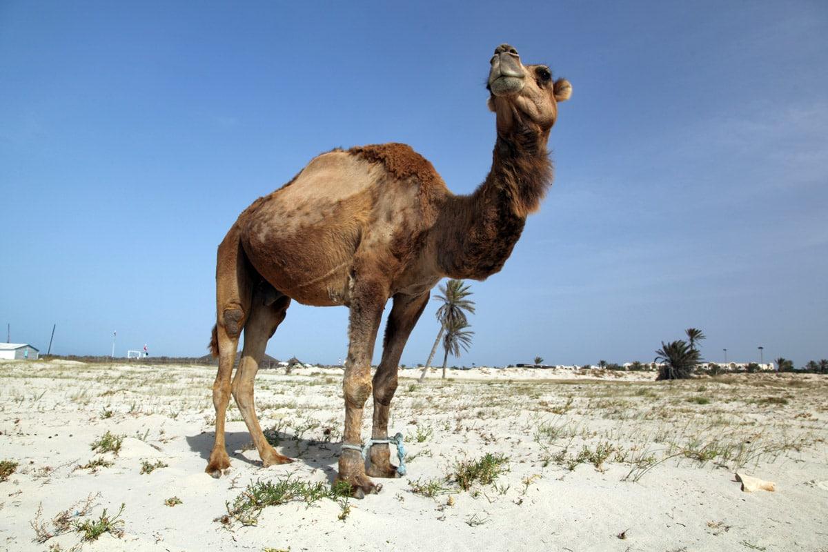 Kameel op het zandstrand van Djerba