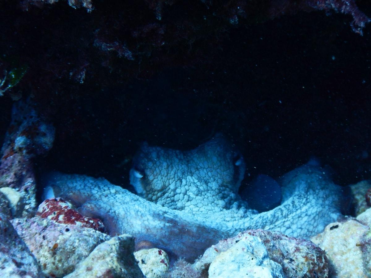 Octopus bij Benidorm Island