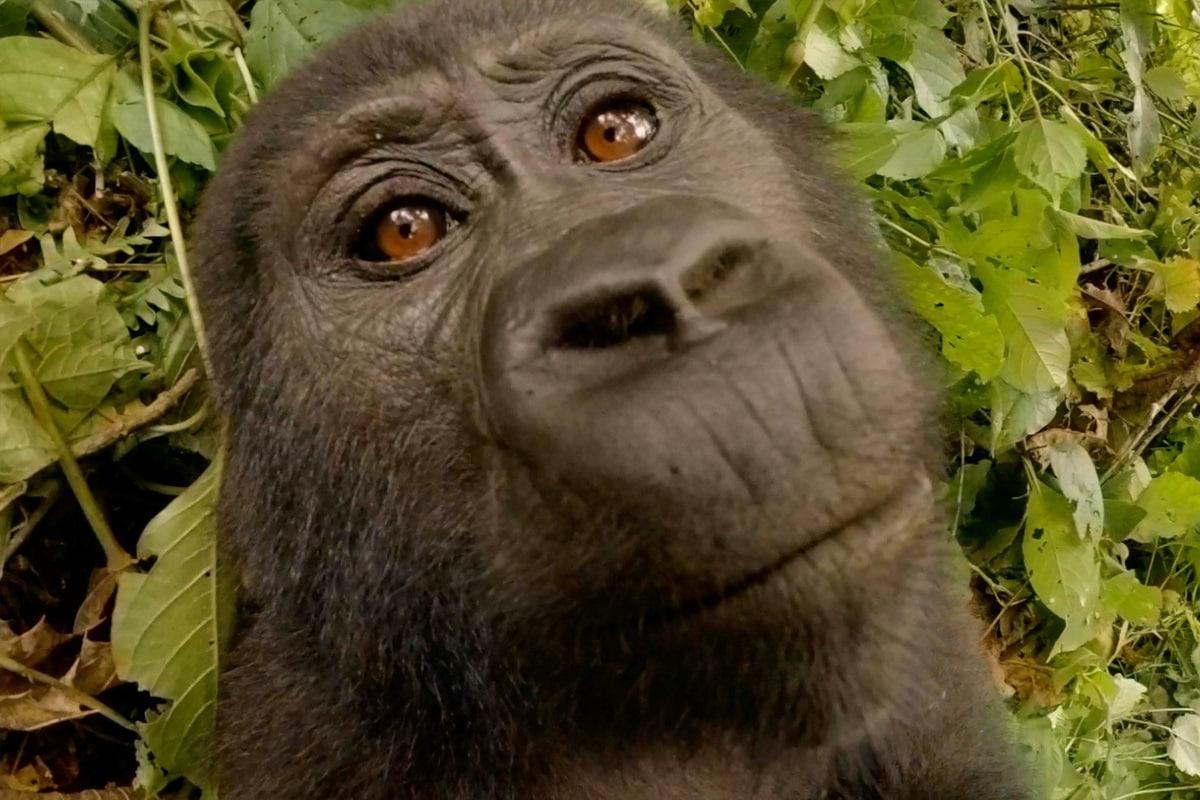 matoke-virtual-gorilla