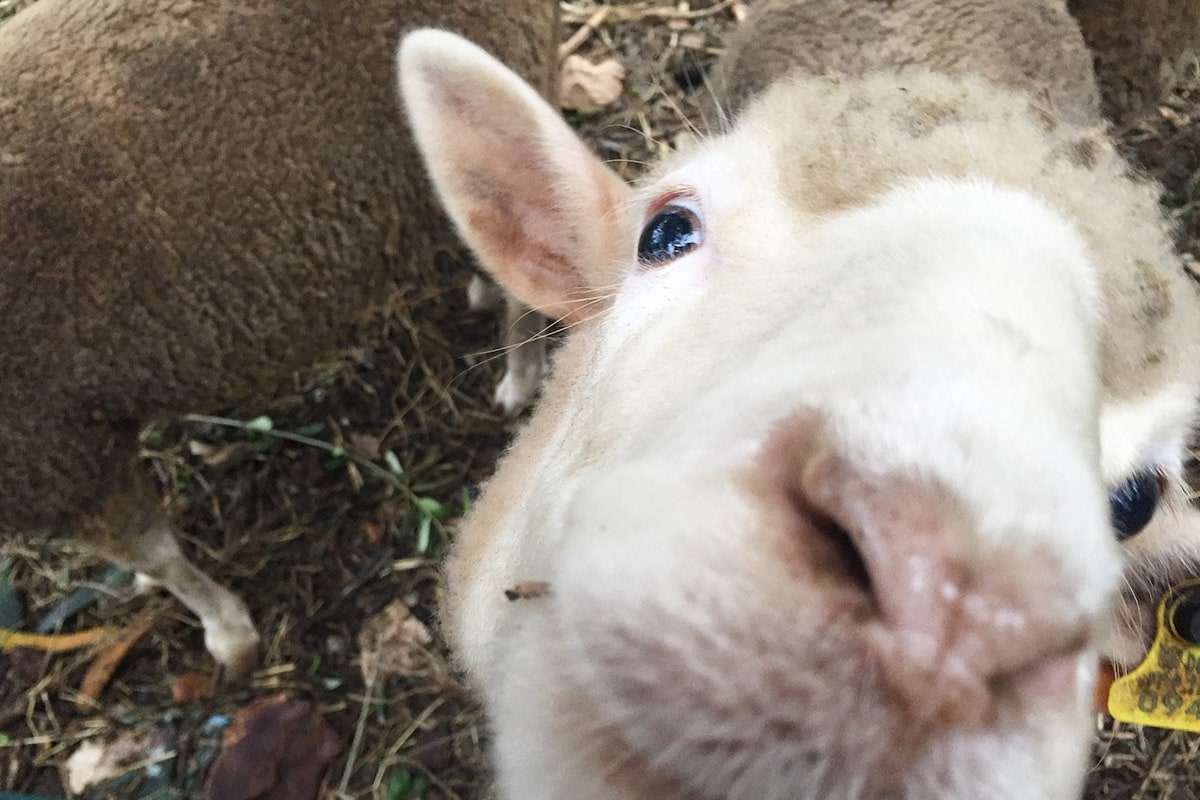 sheeps-fatima