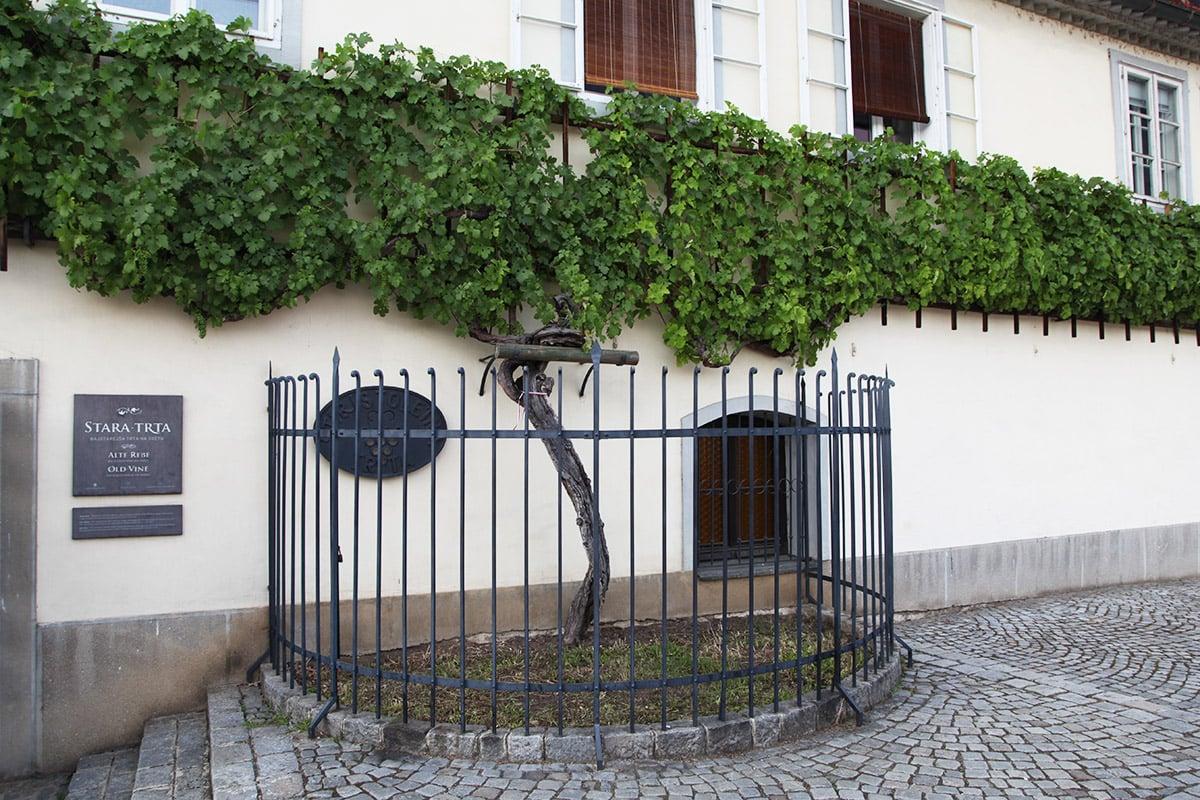 maribor-old-wine-tree