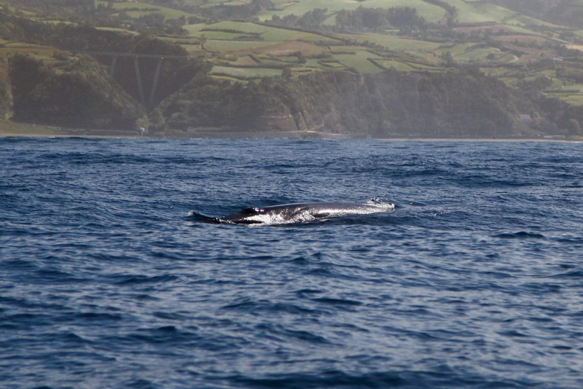 walvis spotten azoren