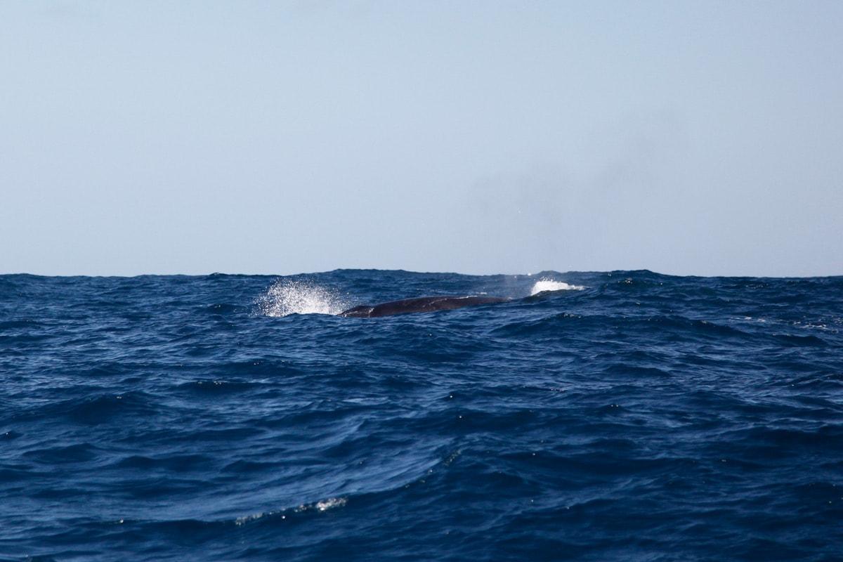 azoren walvis vinvis