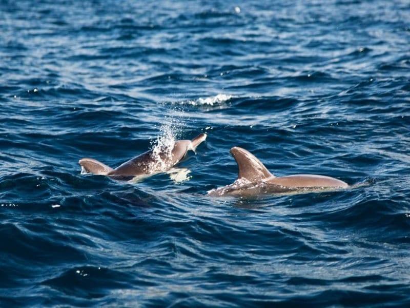 dolfijnen-spotten-azoren