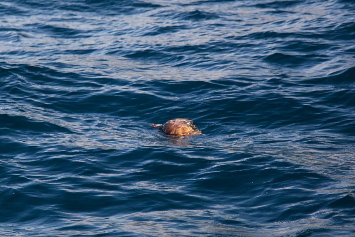 schildpadden azoren