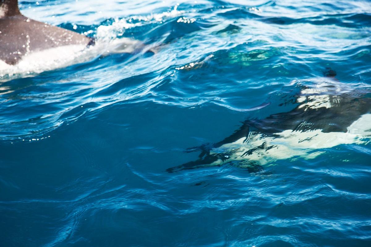 azoren dolfijnen spotten