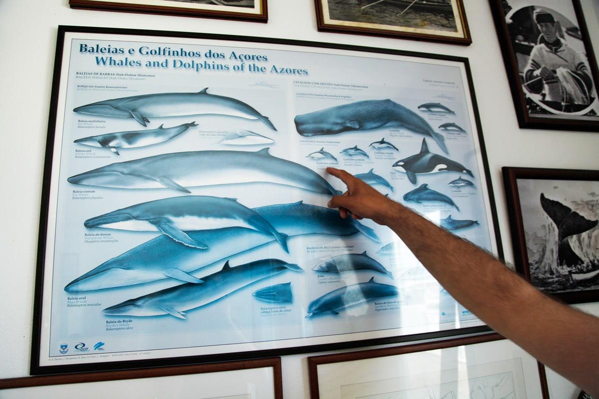 soorten walvissen azoren