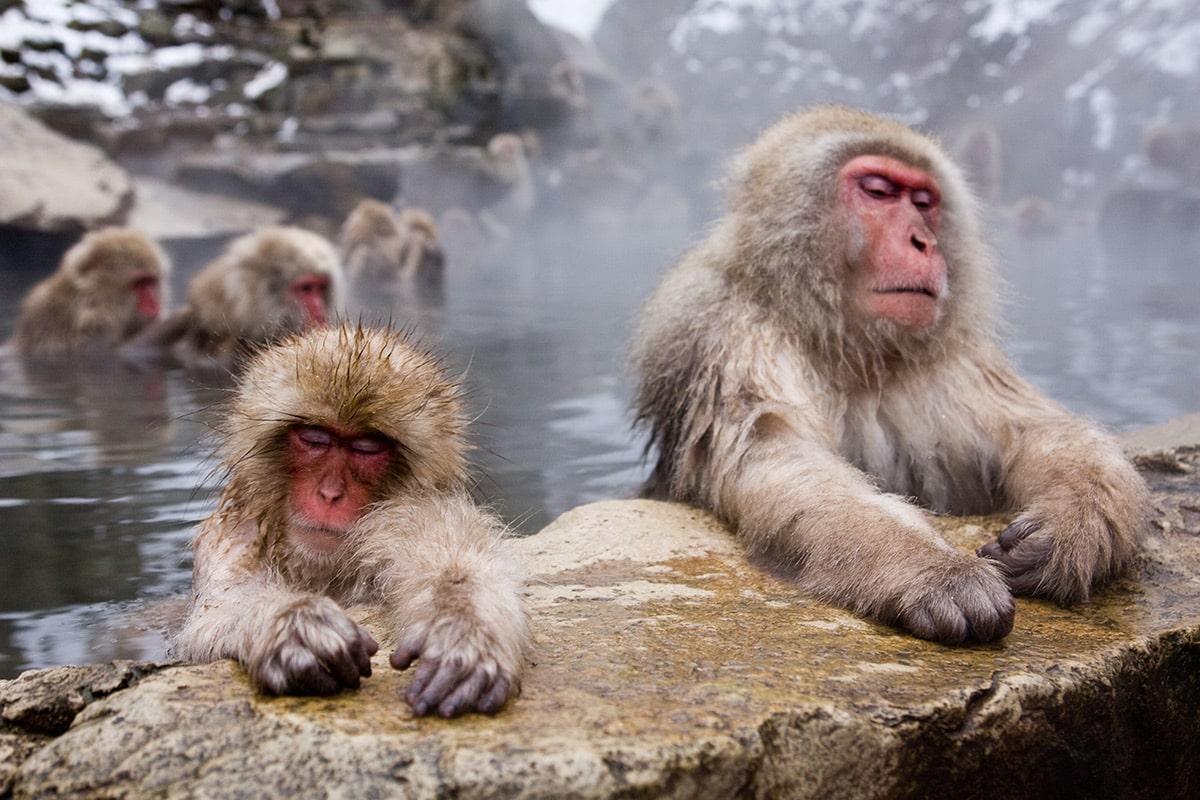 japan-droomreis-snow-monkeys