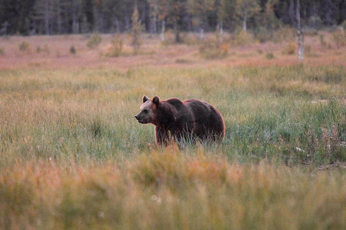 Wilde beren in Fins-Lapland