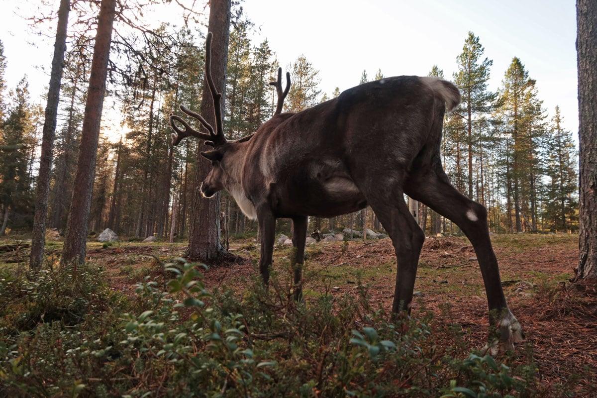 Doen in Fins-Lapland: Rendieren in het wild in Fins-Lapland