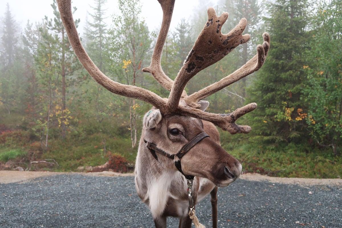 Wat te doen in Fins-Lapland: Wandelen met rendieren in Fins-Lapland