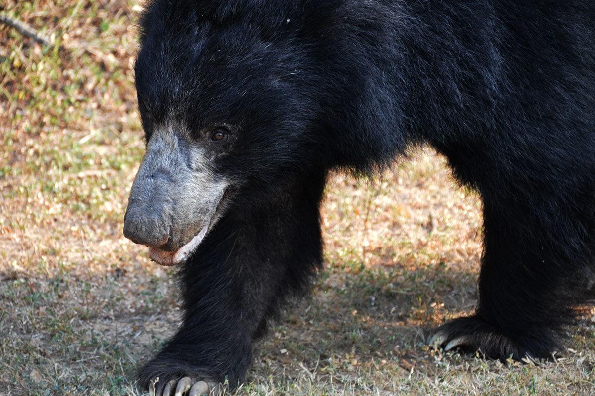 Beren spotten in Sri Lanka