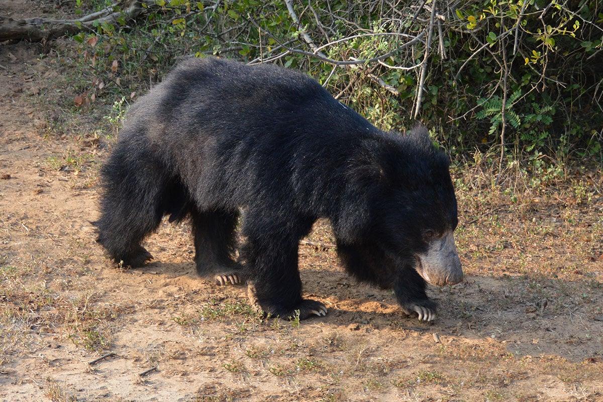 Wilde beren in Sri Lanka