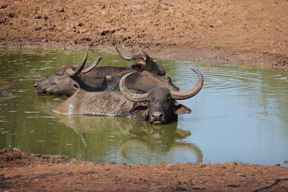 Waterbuffalo in Yala
