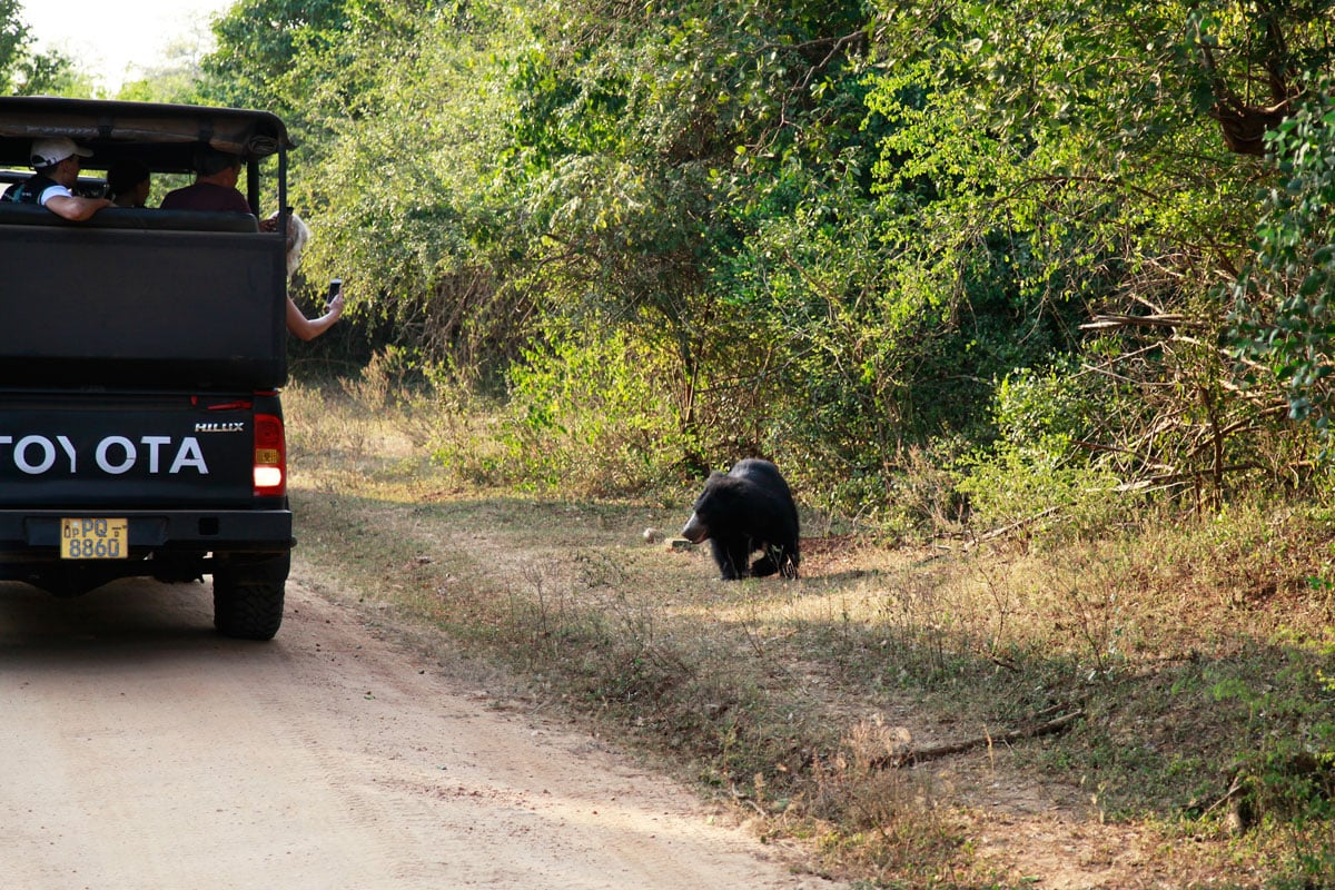 Lippenbeer spotten in Yala National Park