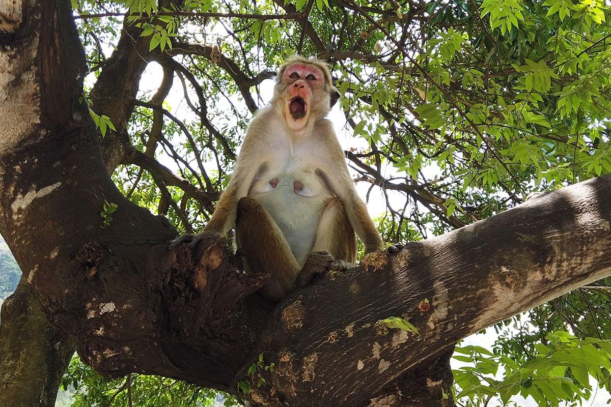 Makaken in Sri Lanka