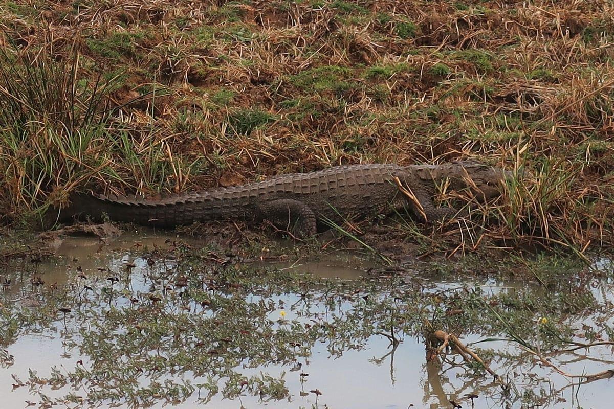 Krokodillen in Yala Nationaal Park