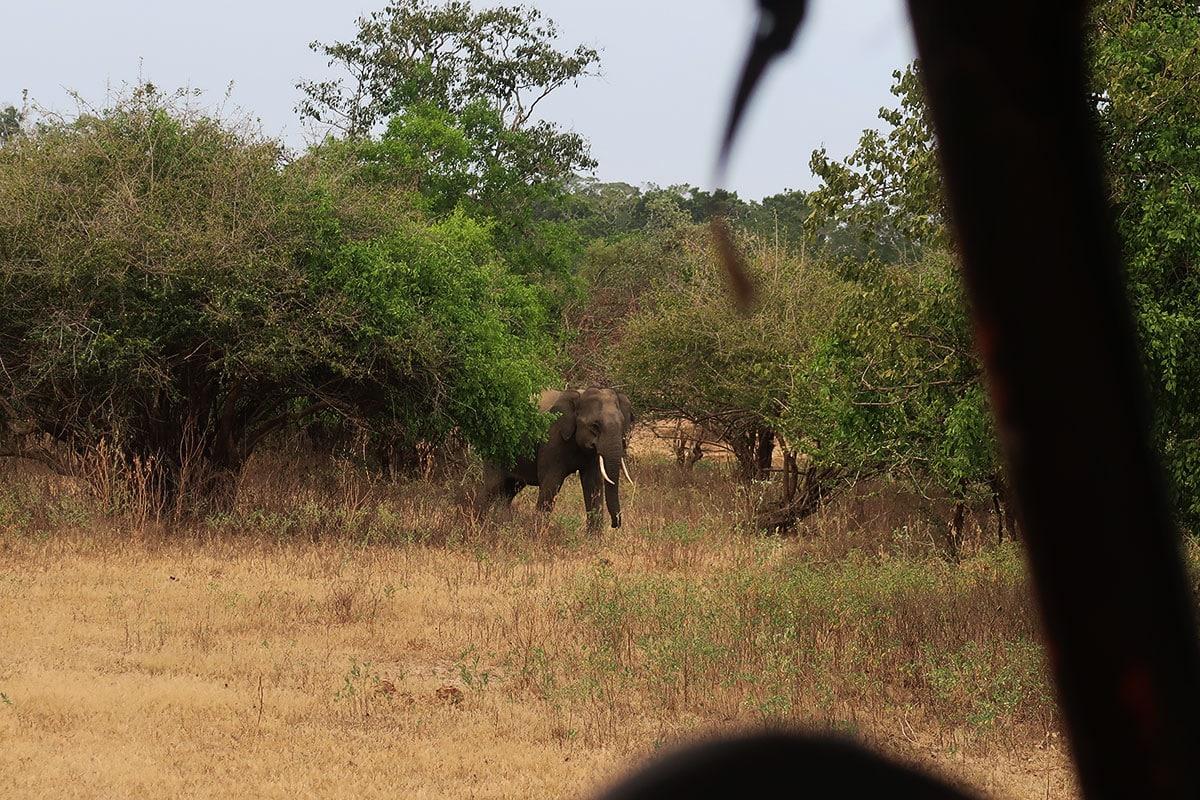 Tusker olifanten in Sri Lanka