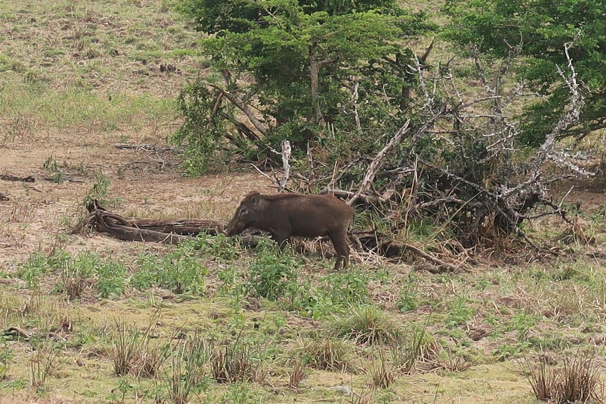 Wild zwijn in Yala Nationaal Park