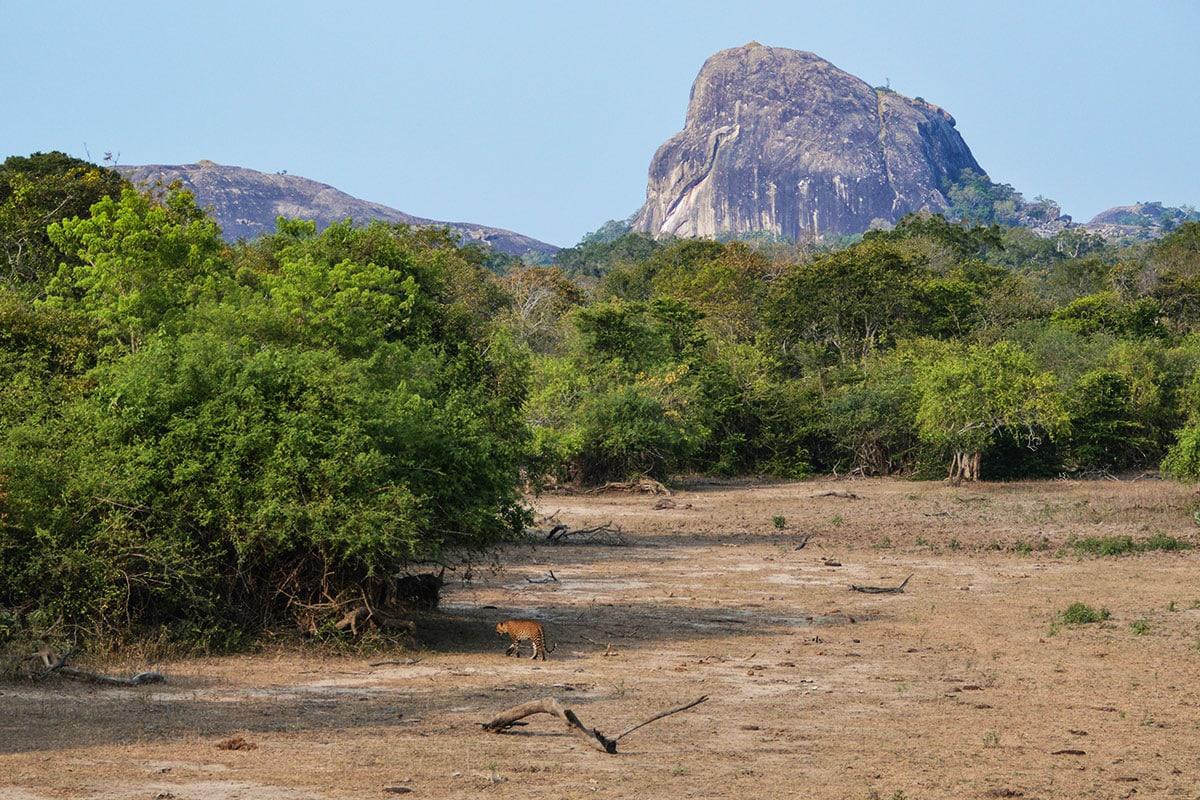 Luipaarden spotten in Sri Lanka