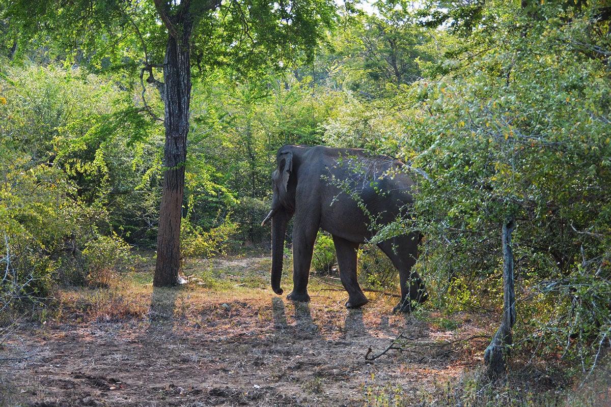 Aziatische olifanten in Yala National Park Sri Lanka
