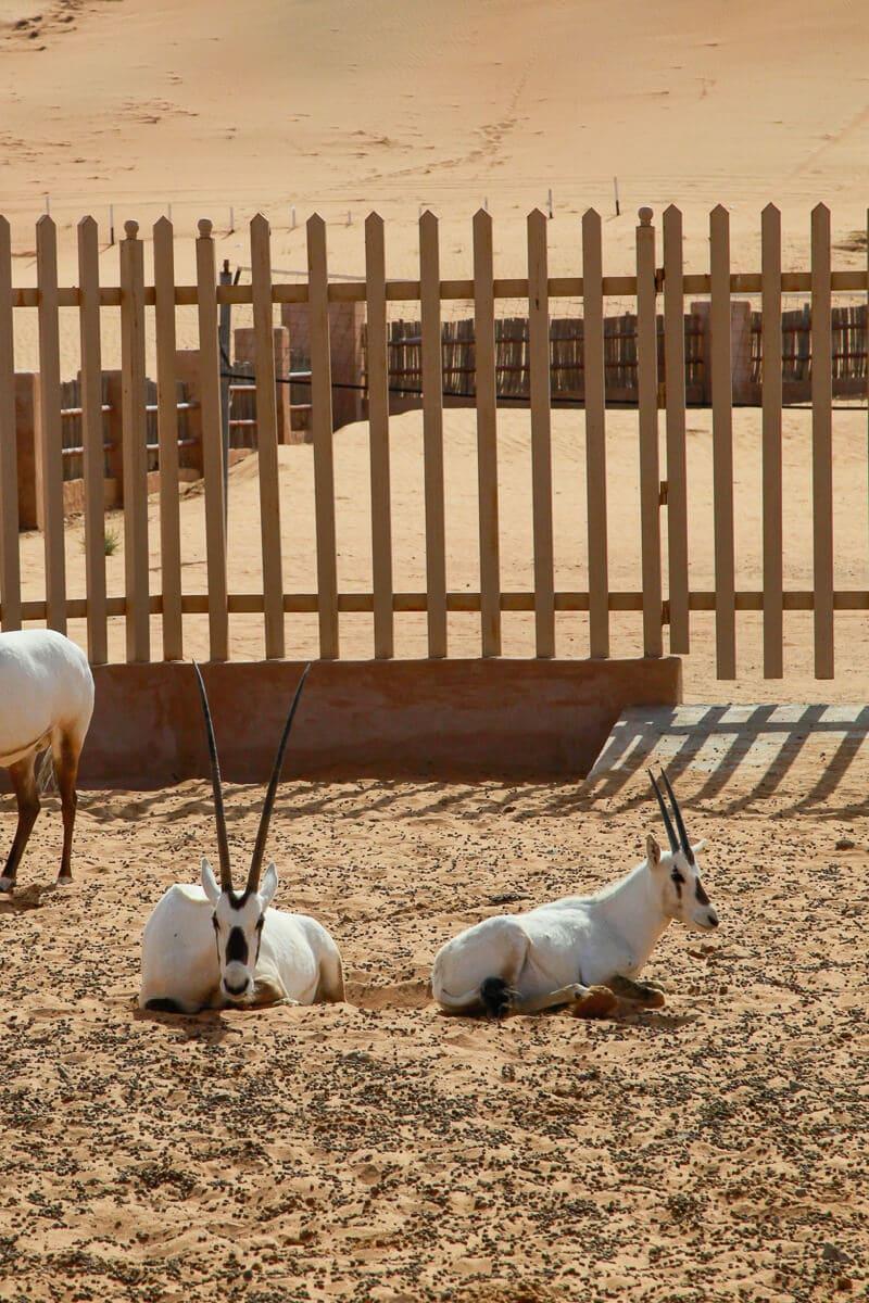 Oryx antilope woestijn dieren Oman