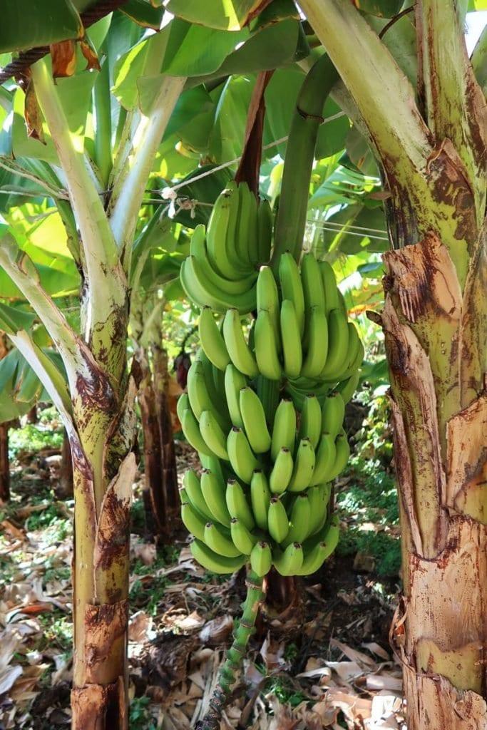 Bezienswaardigheden Madeira bananenplantage