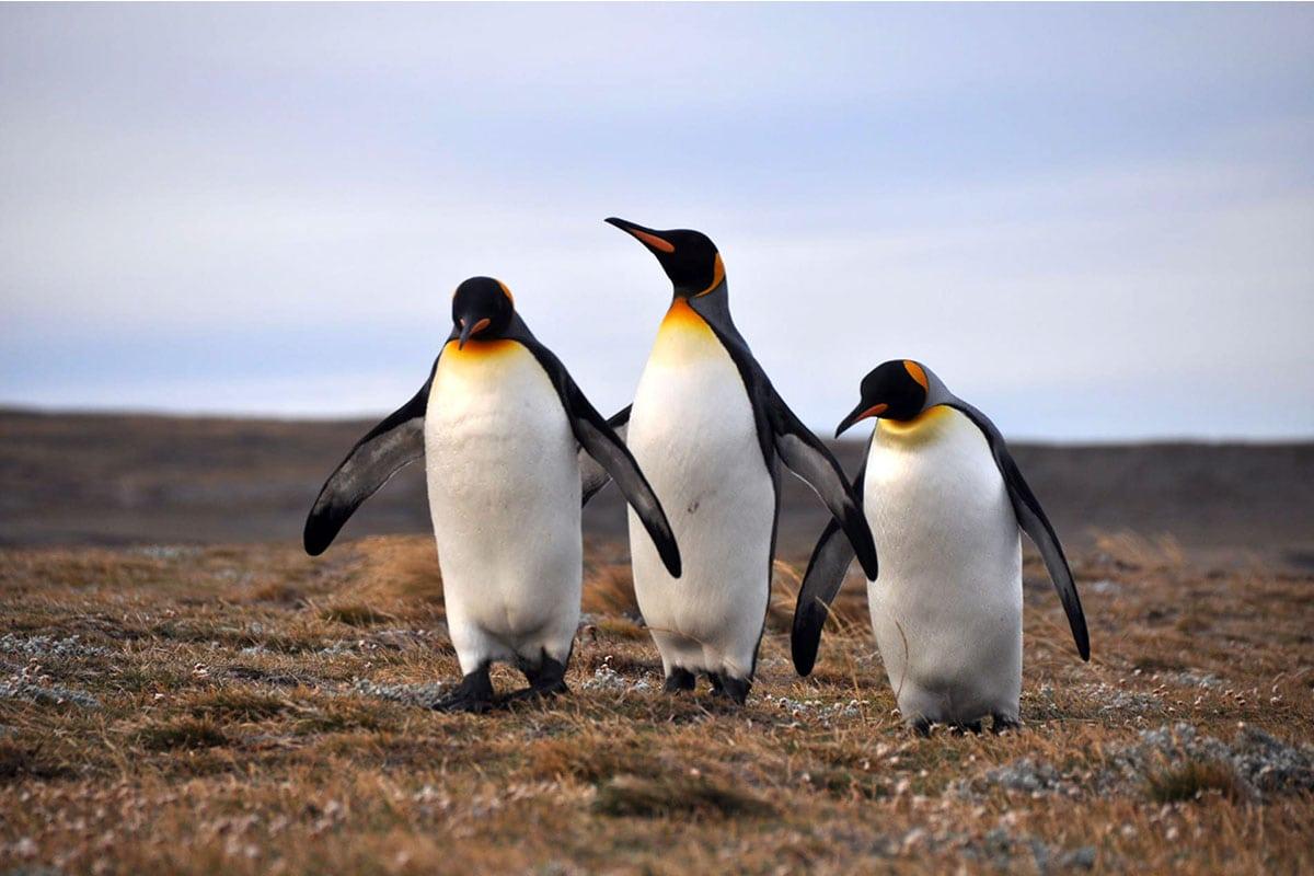 Pinguins spotten Patagonië Argentine Chili